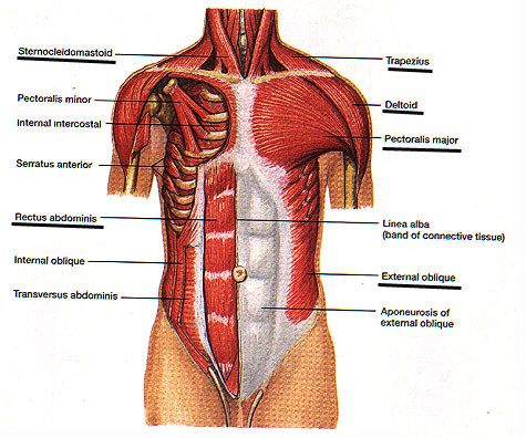 Superficial musculoaponeurotic system anatomy