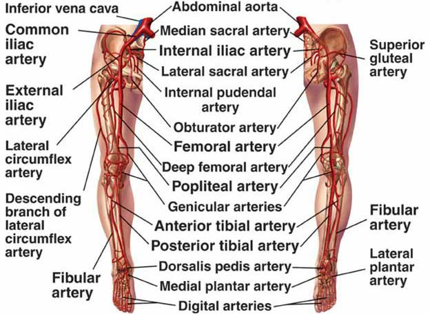 Arteries Of The Pelvis And The Lower Extremity Human Anatomy