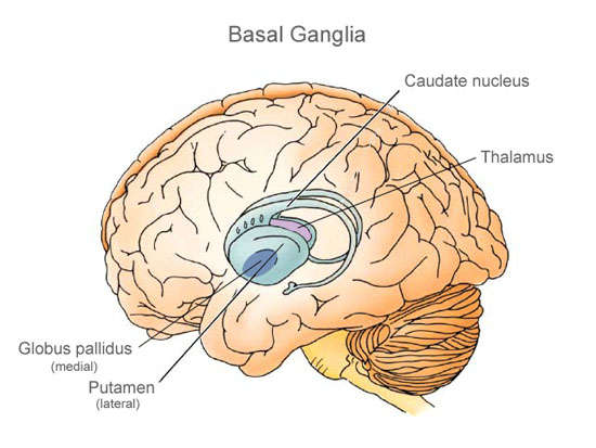 Image result for Basal Nuclei