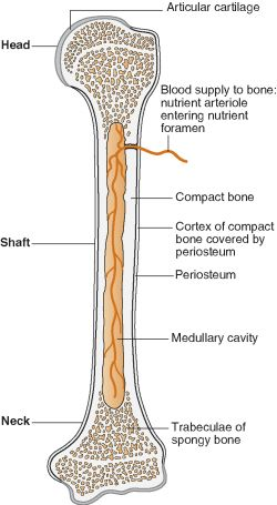 Human bone structure anatomy