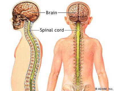 nervous system, Human Body