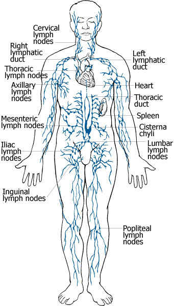 lymphatic system, Cephalic Vein