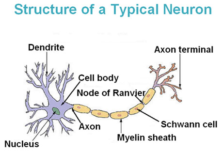 Neurons - Human Anatomy