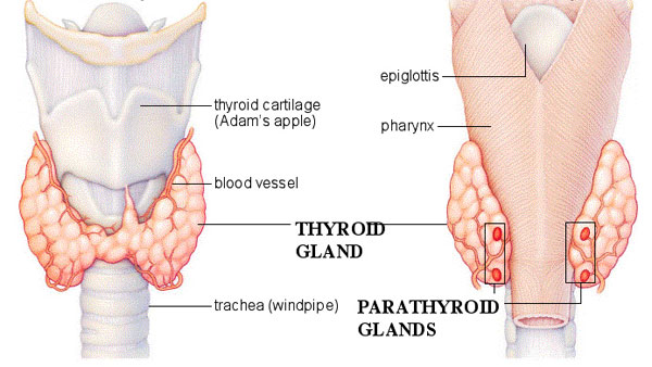 parathyroid glands - human anatomy, Skeleton