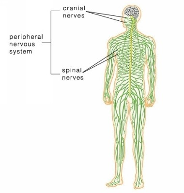 central nervous system and the peripheral nervous system Peripheral nervous system: the portion of the nervous system that is outside the brain and spinal cord abbreviated pnsthe nerves in the pns connect the central nervous system (cns) to.