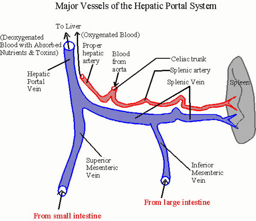 Hepatic Portal System Human Anatomy