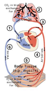 Routes of Circulation Anatomy