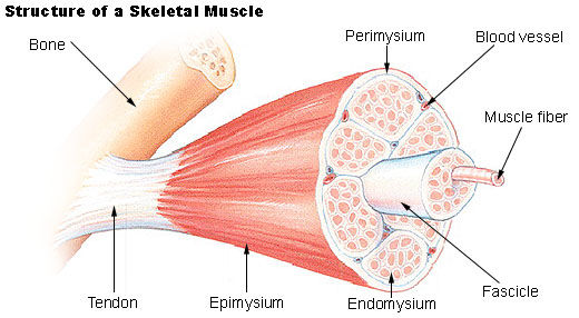 understanding the anatomy and physiology of skeletal muscles, Muscles