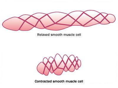 smooth muscle cells - human anatomy, Muscles