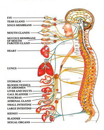 Organ Spine Diagram Trusted Wiring Diagram