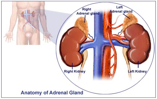addison's disease - causes, symptoms, treatment, medications, Human body